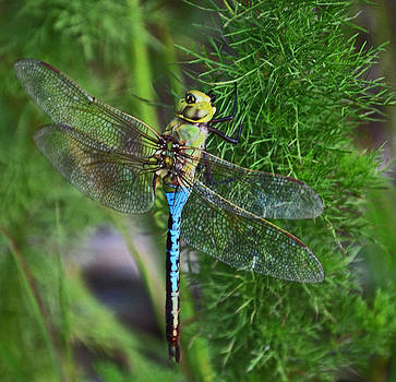 Joe Bledsoe - Dragonfly Depot