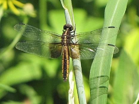 Dragonfly Dreams by Harry Wojahn