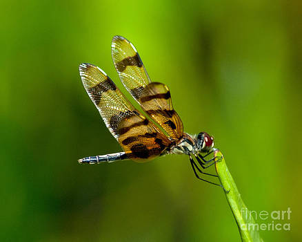 Stephen Whalen - Dragonfly Eating