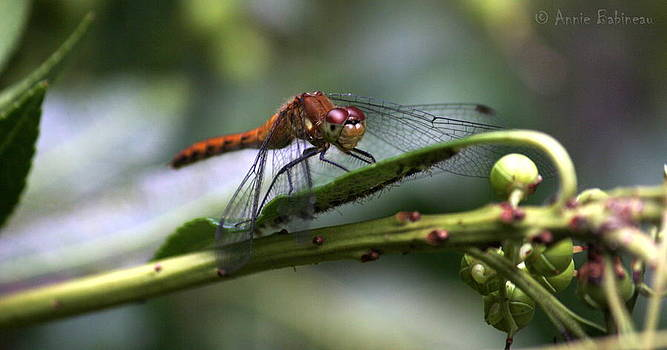 Dragonfly Female by Annie Babineau