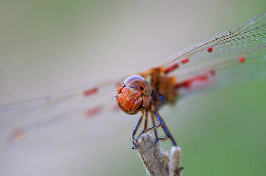 Dragonfly Gazing At Me by Riad Belhimer