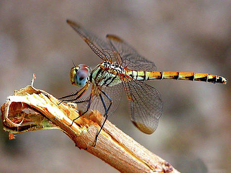 Dragonfly by Graham Taylor