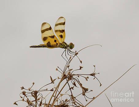 Dragonfly II by Carol McCutcheon