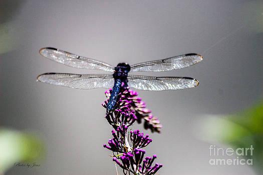Dragonfly  by Jinx Farmer