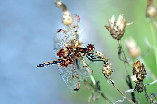 Dragonfly by Matthew Grice
