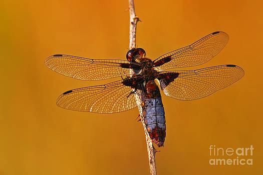 Nick  Biemans - Dragonfly on a branch