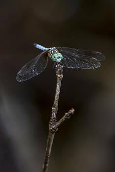 Paula Porterfield-Izzo - Dragonfly on Branch