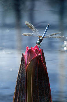 Dragonfly on Closed Lily by Kristin Clarke
