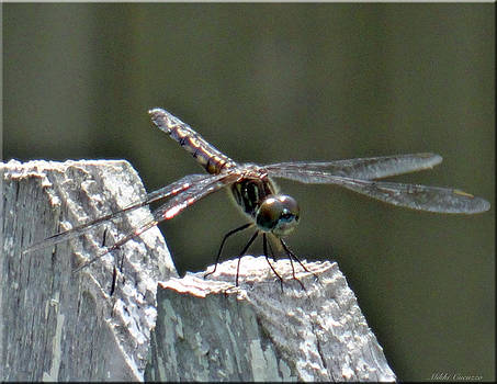 Dragonfly on Fence by Mikki Cucuzzo