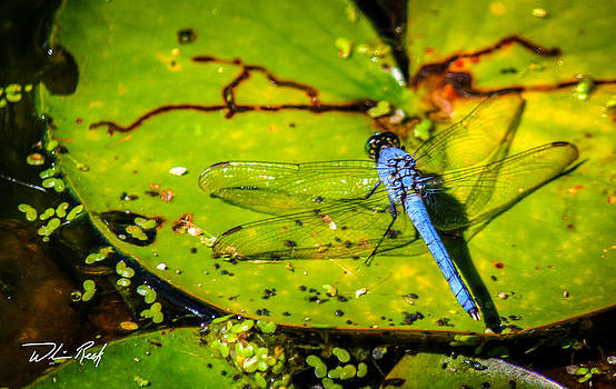 William Reek - Dragonfly On Lily Pad