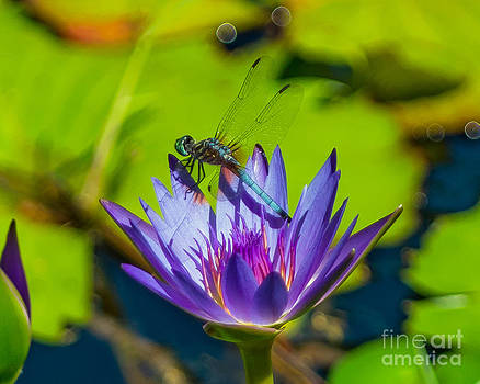 Stephen Whalen - Dragonfly on Water Lily