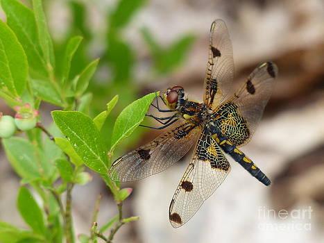 Christine Stack - Dragonfly on Wild Blueberries