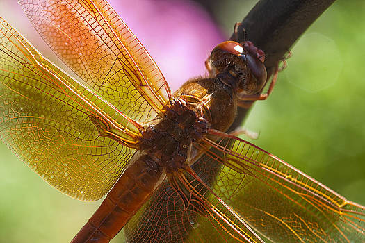 Dragonfly Patterns by Eleanor Caputo
