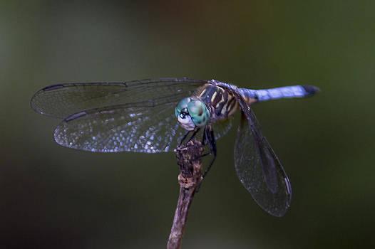 Paula Porterfield-Izzo - Dragonfly