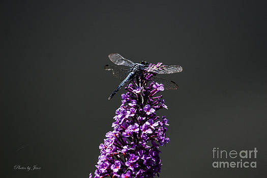 Dragonfly Ready for Flight  by Jinx Farmer