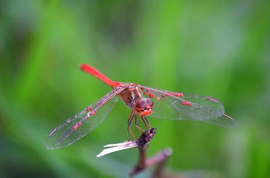 Dragonfly Resting by Riad Belhimer