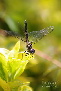 Tannis  Baldwin - Dragonfly resting