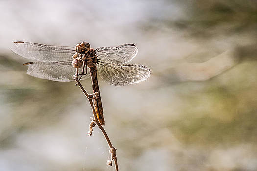 Dragonfly by Richard Brown