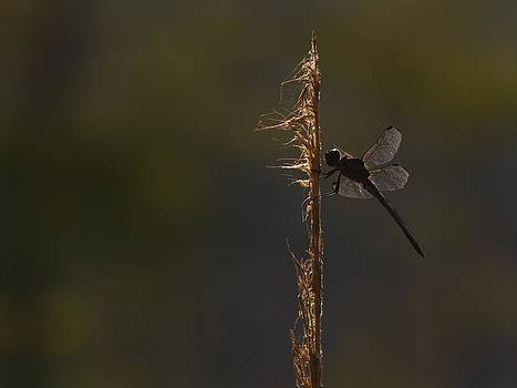 Billy  Griffis Jr - Dragonfly Silhouette