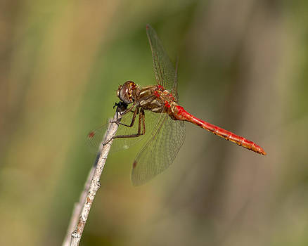 Dragonfly by Steve Thompson