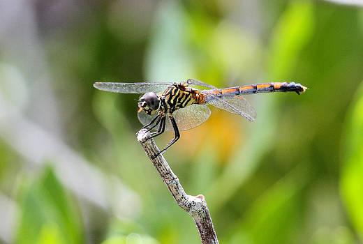 Suzie Banks - Dragonfly