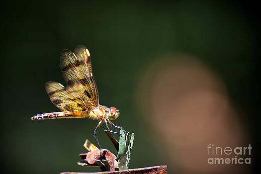 Dragonfly by Wayne Valler