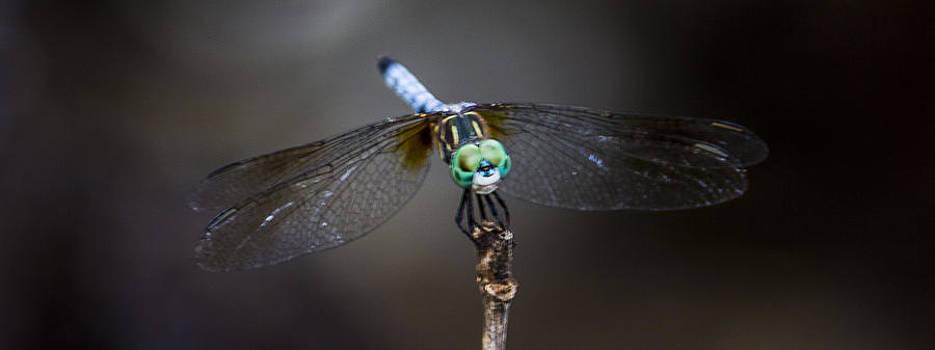 Paula Porterfield-Izzo - Dragonfly Wings