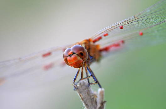 Dragonfly2 by Riad Belhimer