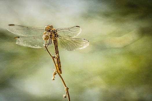 Dragonfly3 by Richard Brown