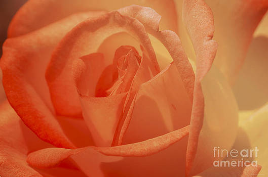 Dreamy Rose  by Nicole Markmann Nelson