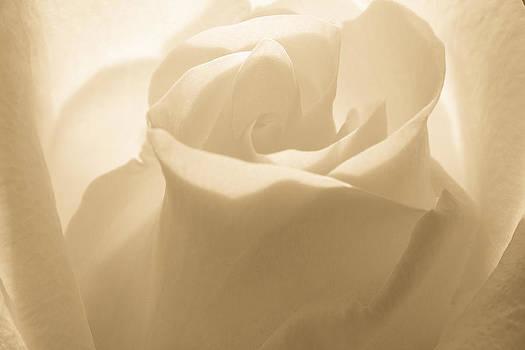 Dreamy Cappuccino Rose by Steven Bateson