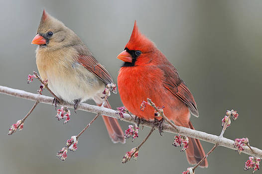 Dreamy Redbirds by Bonnie Barry