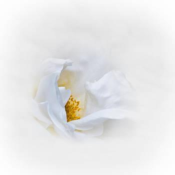 Jane McIlroy - Dreamy White Rose