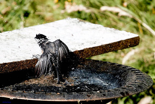Drenched Chickadee by Ed Nicholles