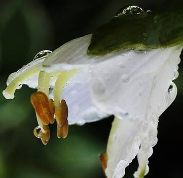 Rosemarie E Seppala - Drenched In White II Hosta Flower Macro