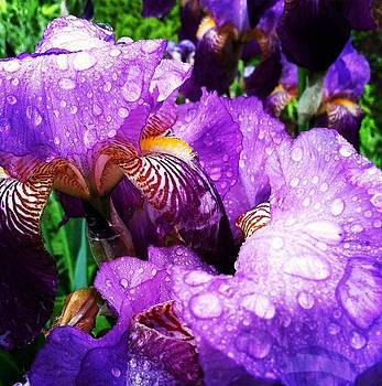 Drenched Iris by Kurler Warner