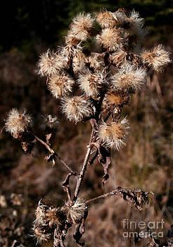Dried flowers by Steven Valkenberg