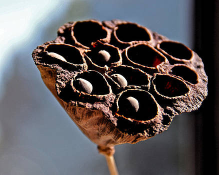 Dried Lotus Stem by Richard Hinds