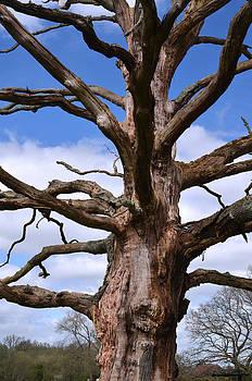 Dried oak by Paulo Simao