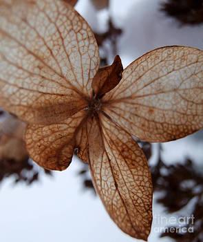 Dried winter flower by Steven Valkenberg