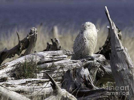 Tim Moore - Driftwood Owl