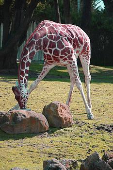 Drinking Giraffe by Willie Chea