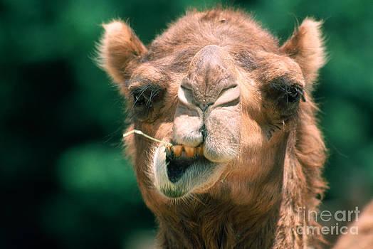 Mark Newman - Dromedary Camel