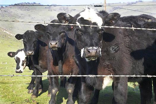 Drooling Bulls by Marsha Ingrao