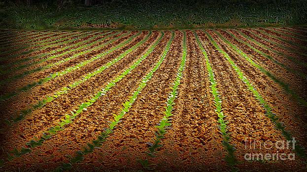 Charles Davis - Dry Taro Fields