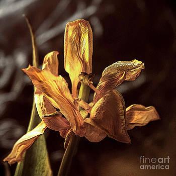 Floral- Tulip- Dying Petals by Feryal Faye Berber