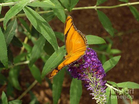 Dryus julia butterfly by Barbara Lightner