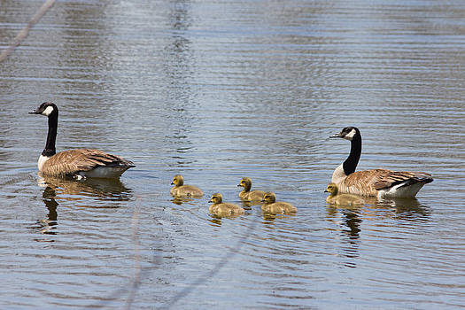 Geese Family by Jose Oquendo