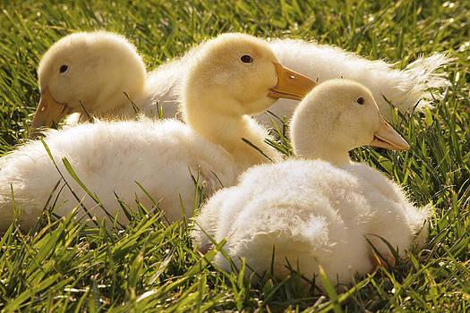 Duck Fluff by Daniel Kasztelan
