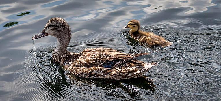 Duck in Pond by Samir Chokshi